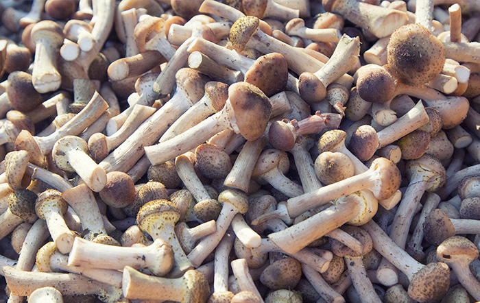 I Funghi Chiodini