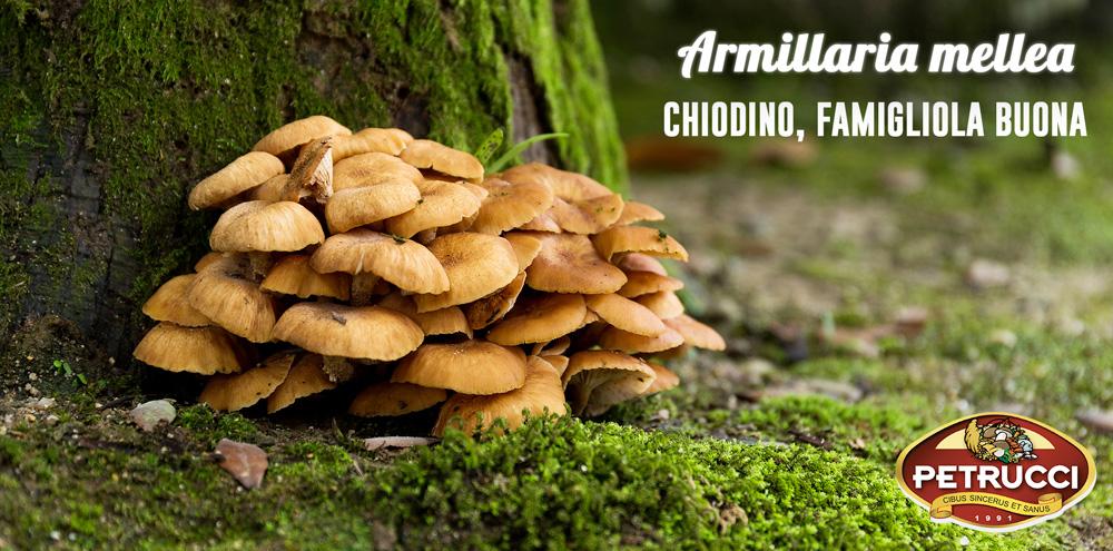 Armillaria-Mellea-Chiodino-famigliola-buona-FUNGO-COMMESTIBILE